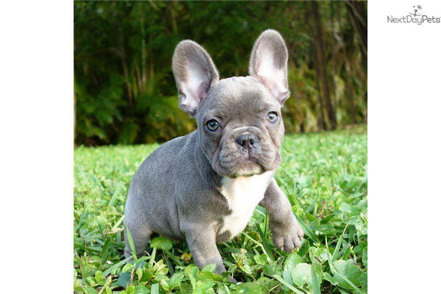 Blue Eyed French Blue Bulldog Puppy French Bulldog Blue Bulldog