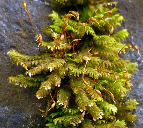 Great Scented Liverwort New Hampshire Garden Solutions Garden Solutions Plants Lichen Moss