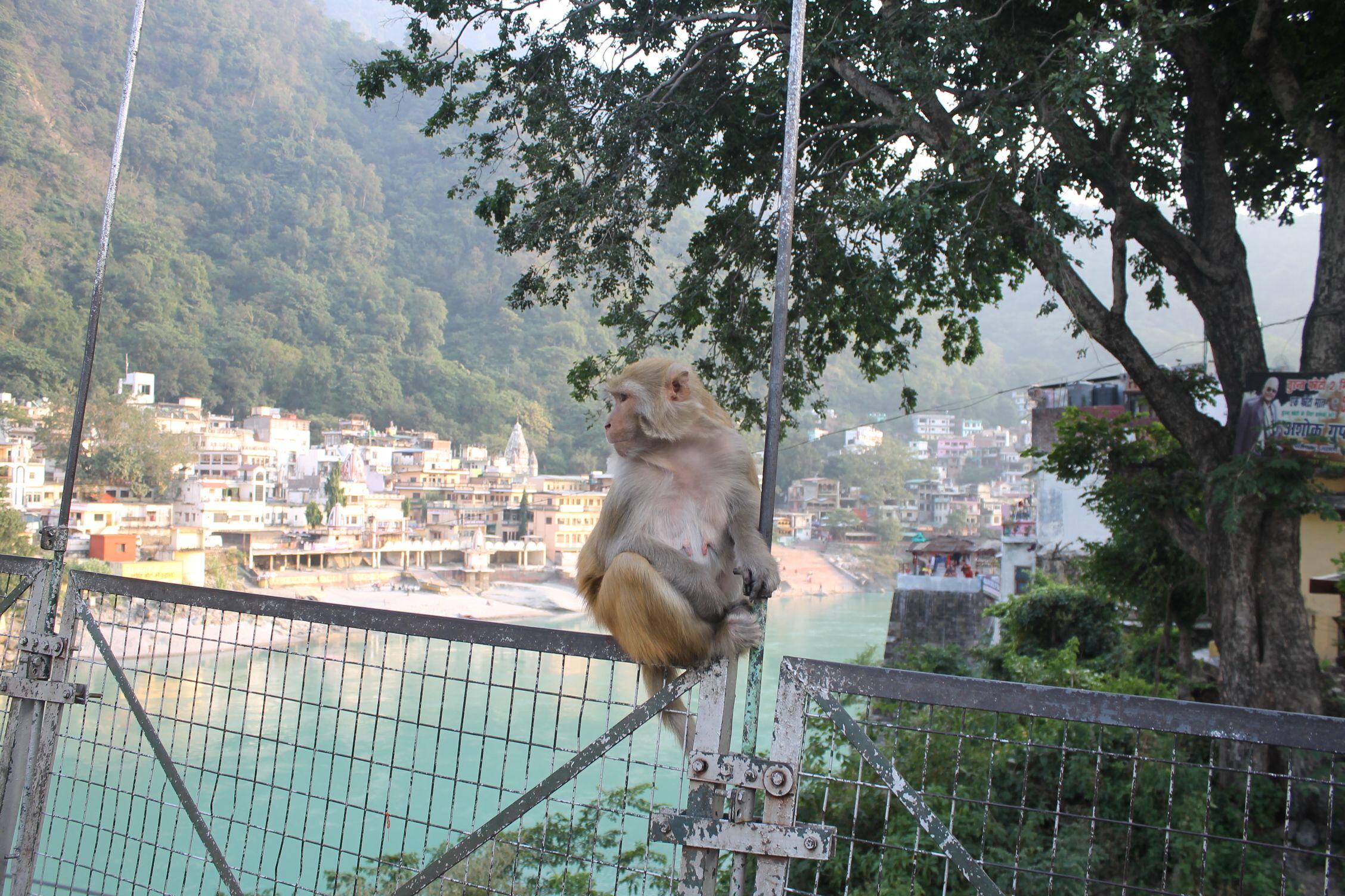 Monos en el Laskhman Jhula