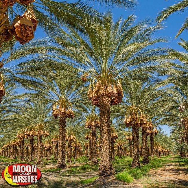 Date Palm Tree Moon Valley Nurseries