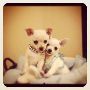 Sweet Chihuahua Puppies! Burnaby/New Westminster Dogs
