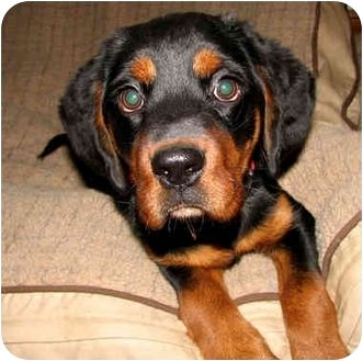 Rottweiler Beagle Mix Puppy For Adption In Cedar Creek Texas