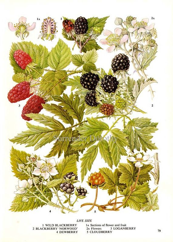 Tattoo project to start next fall. Blackberries with scarification thorns