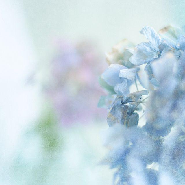 Pastel Blue Hydrangea Pastel Blue Pastels and Color Inspiration