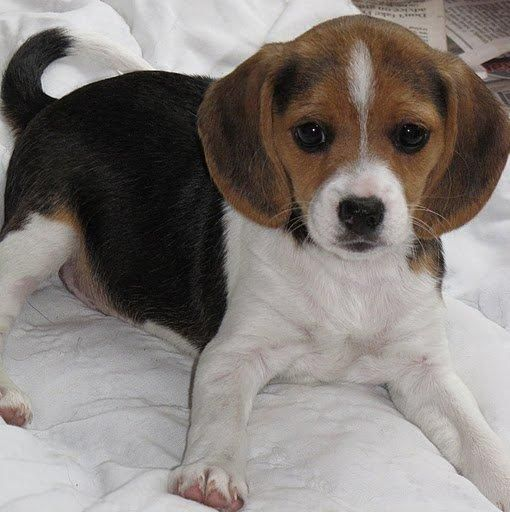 Rabbit Hunting With Beagles Beagle Puppy Pocket Beagle Beagle