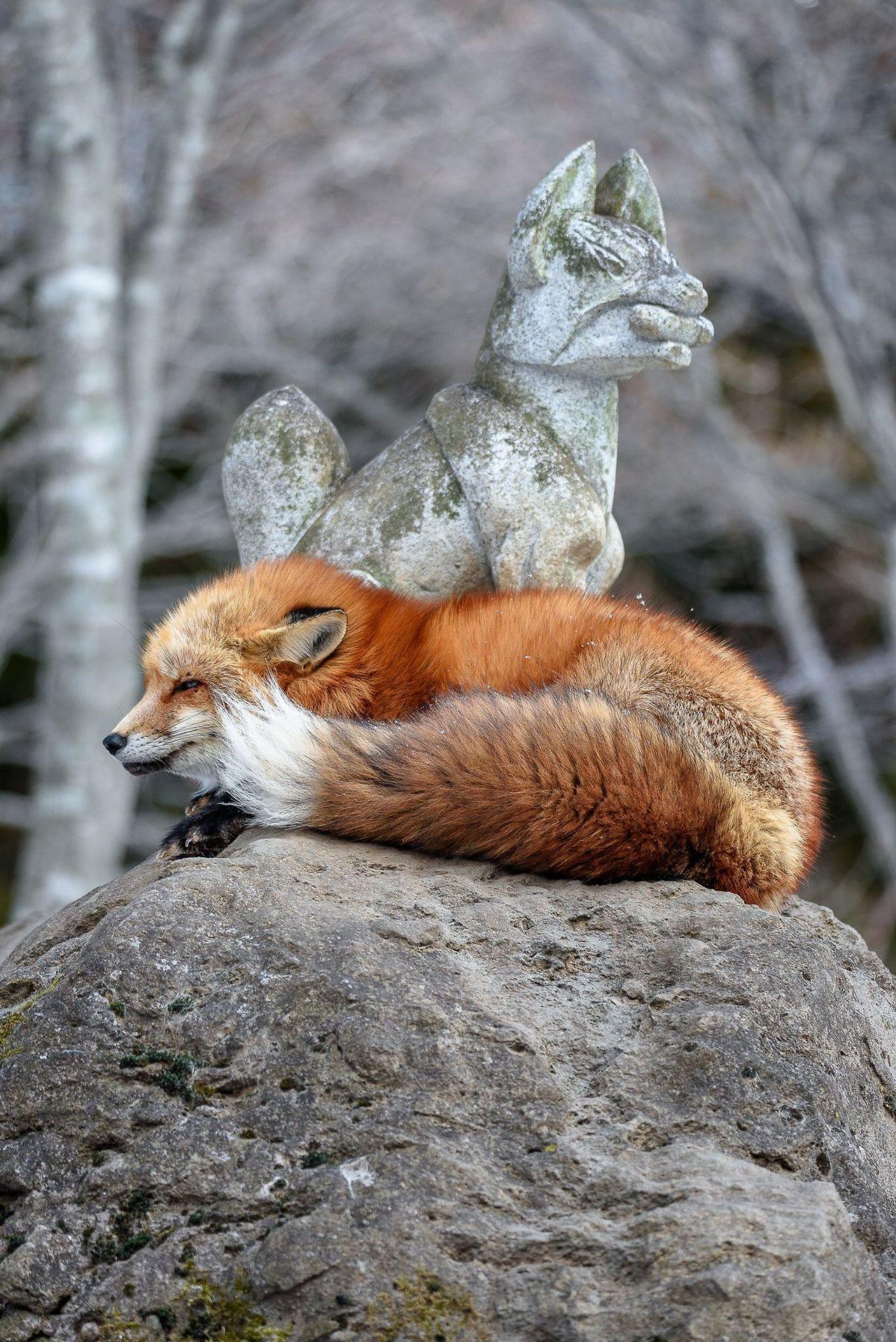 Red Fox by Godimus Michel | Zao Fox Village in Japan