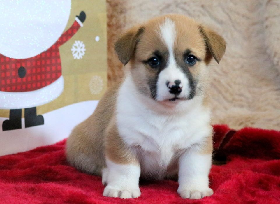 Puppies For Sale In Pa Keystone Puppies Seeks To Bring Happy Healthy Puppies And Families Together Corgi Puppies For Sale Puppy Adoption Pembroke Welsh Corgi
