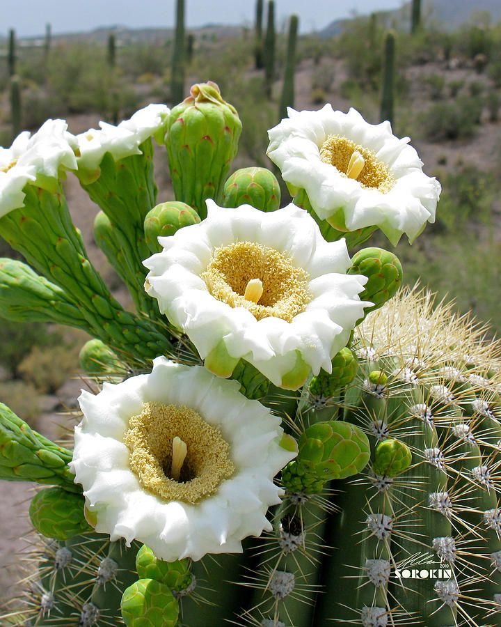 State Flower of Arizona | Saguaro Cactus Blossom