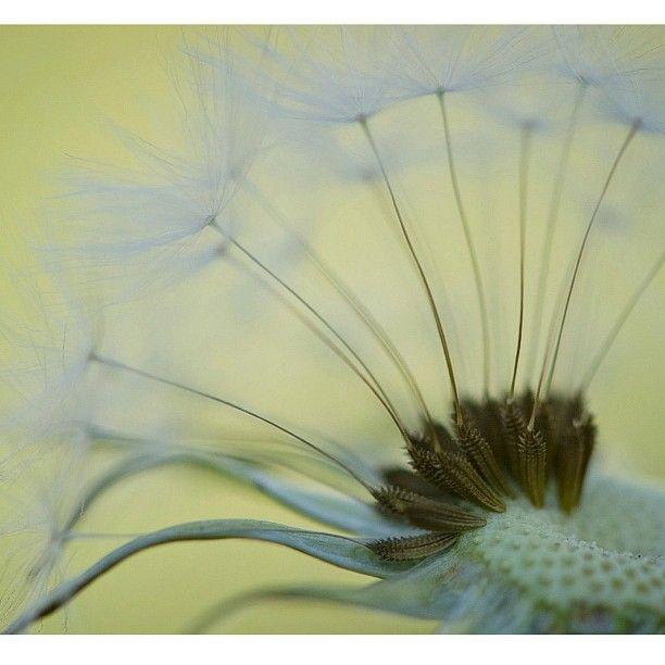 dandelions   taken by greymatters