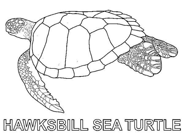 Sea Turtle Hawksbill Sea Turtle Free Coloring Sheet Mit