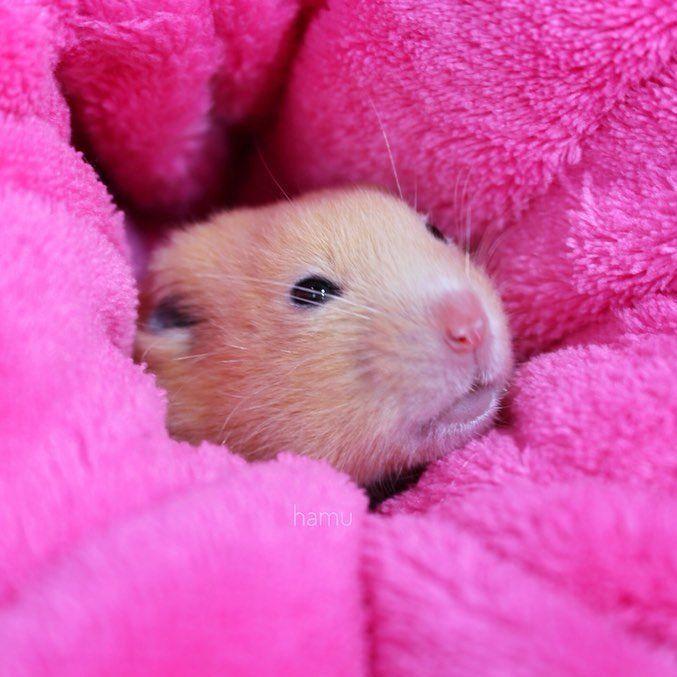 #hamsterpet
