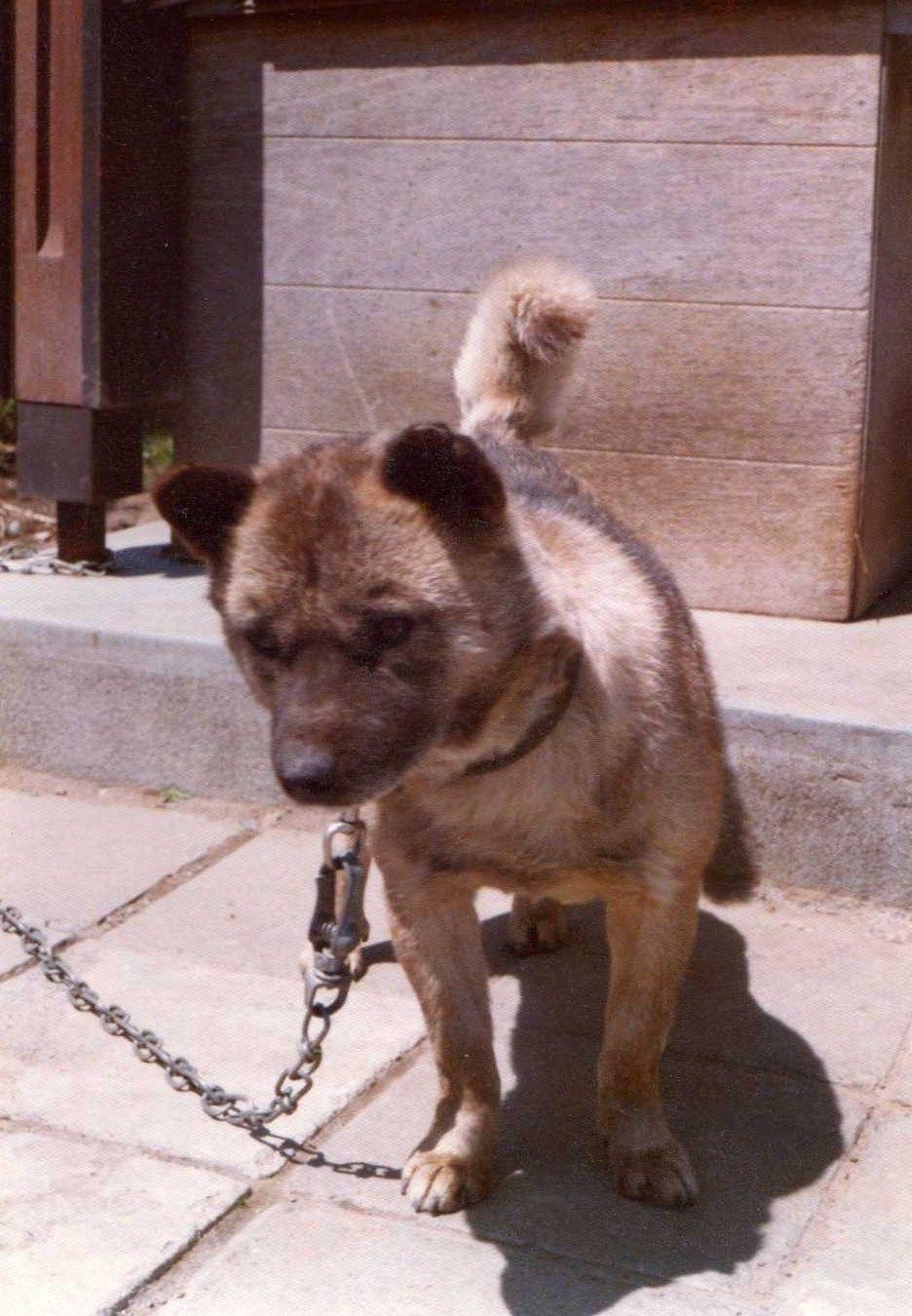 お名前 けんちゃん 北海道在住 北海道犬 ビクターのニッパーちゃんをお母さんだと思い育った北海道犬のけんちゃんです 薄野の料亭で3匹生まれた中の一匹でした 母方の祖父の電気屋さんへやって来て店頭に飾られていた大きなニッパーちゃんを親と思い過ごし