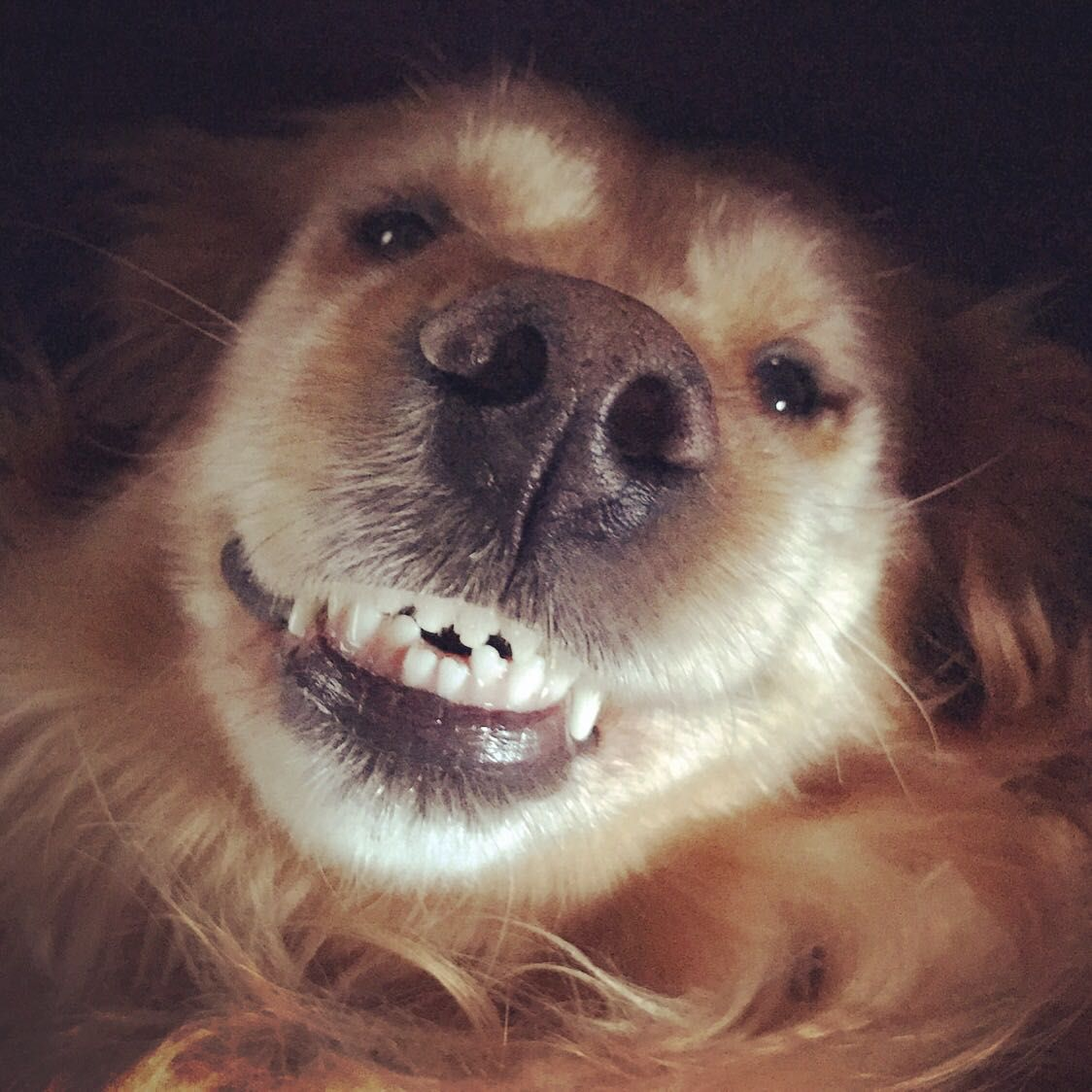 My golden's crooked teeth smile http//ift.tt/2fVyDnL