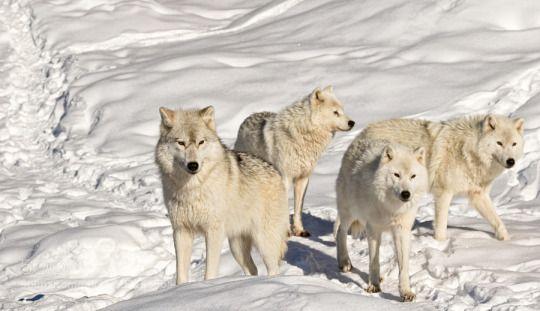 Female Lone Wolf.