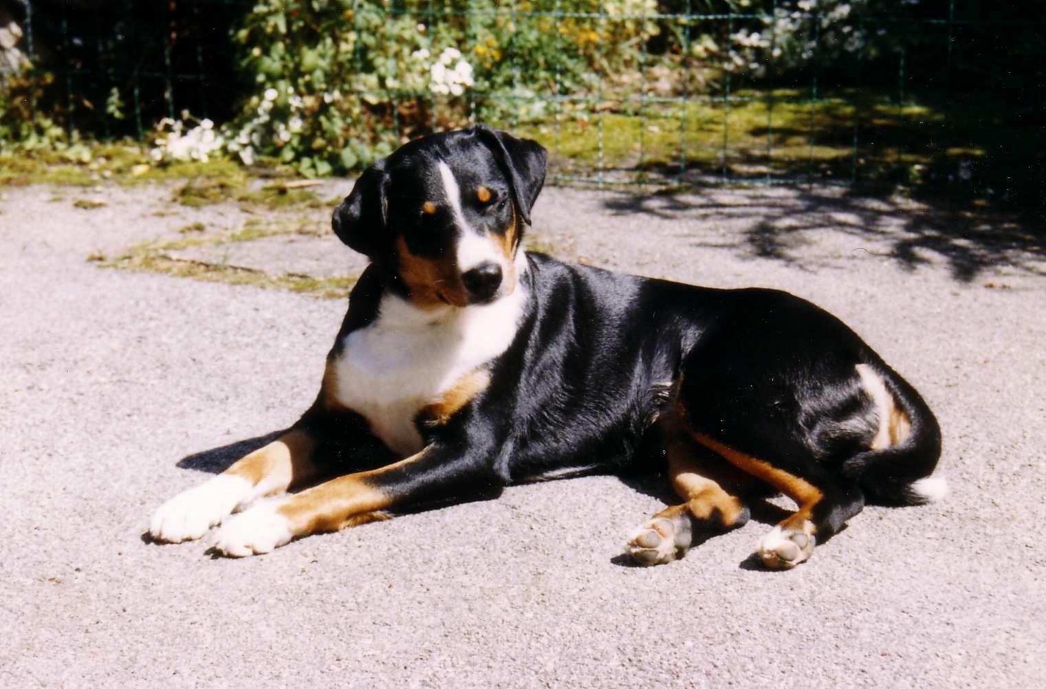 Google Image Result For Http Upload Wikimedia Org Wikipedia Commons 8 83 Appenzeller Sennenhund Jpg Sennenhund Seltene Hunderassen Appenzeller Sennenhund