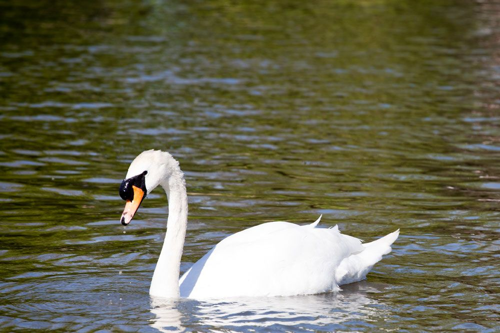 Visitors can get up close to a huge number of swans, ducks and geese ...