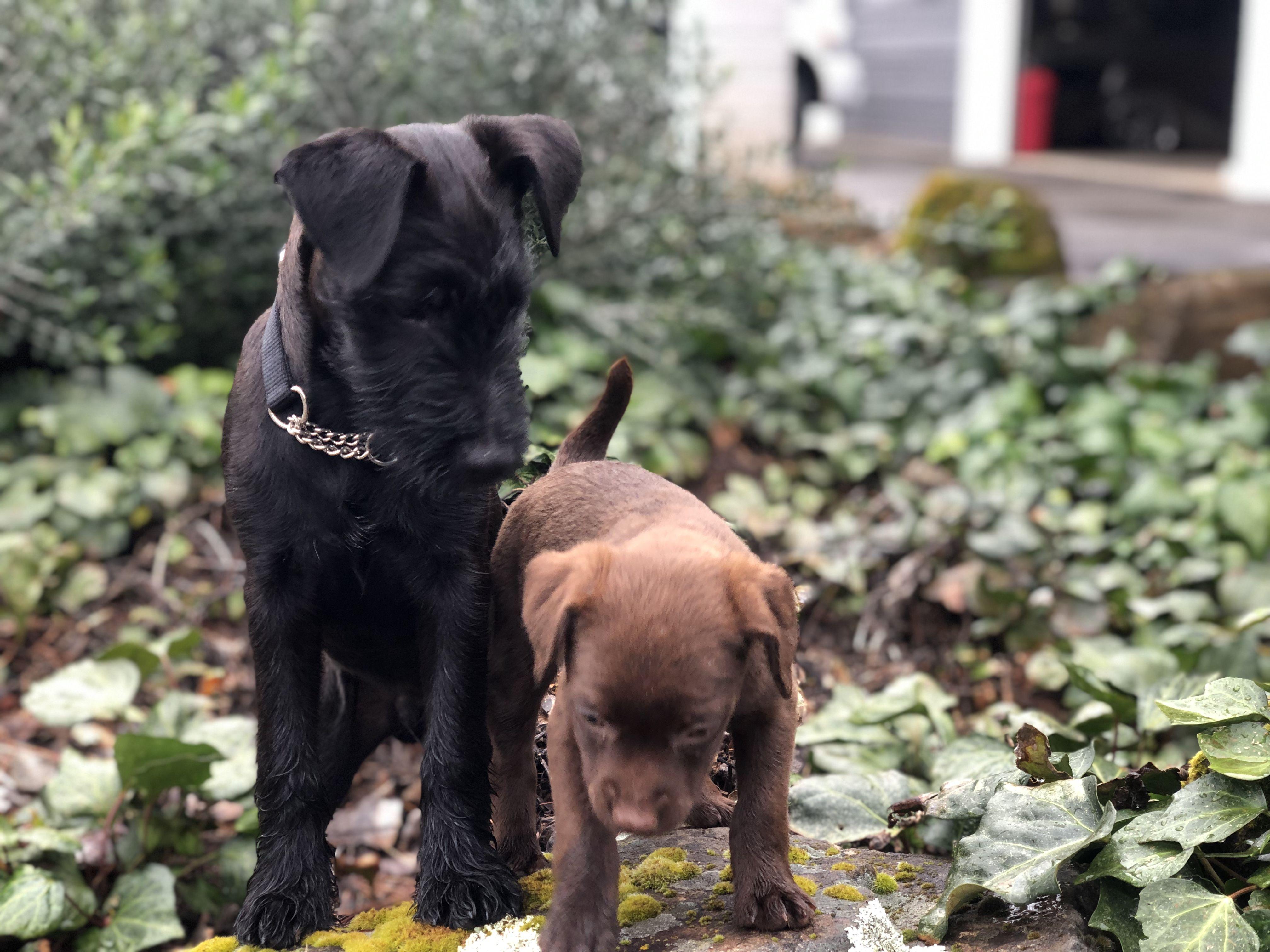 Diesel and roxy patterdale terrier labrador retriever