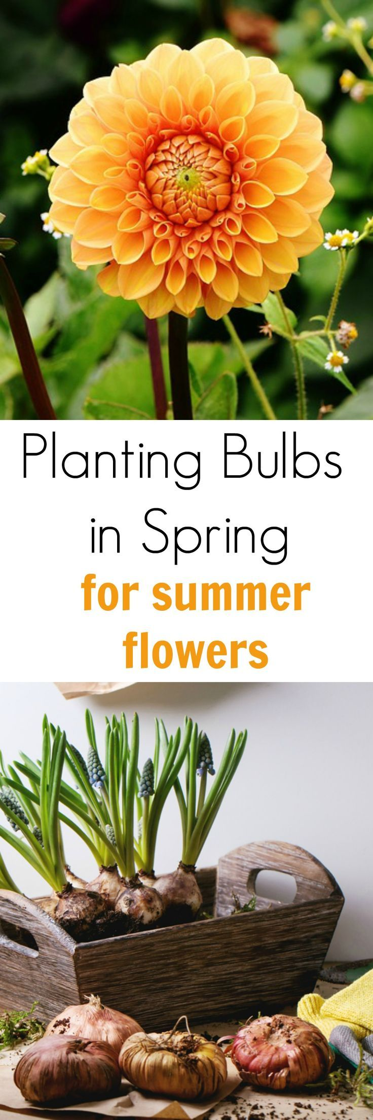 Planting Bulbs In Spring For Summer Flowers Bulbs Plants And Flower