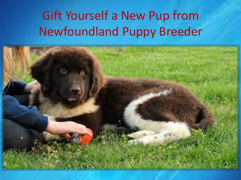Newfoundland puppies for sale texas