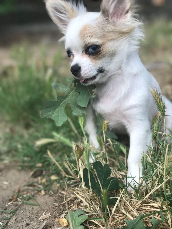 Baby Bella Long Hair Chihuahua Cute Chihuahua