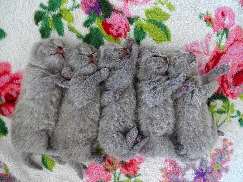 British Shorthair Kittens Cattery Delano The