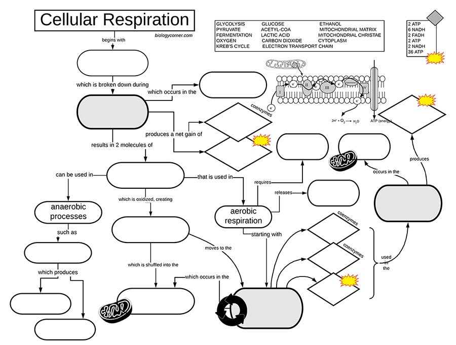 Cellular Respiration Graphic Organizer Ap biology