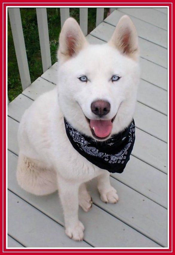 My Siberian Huskies. | Animals | Pinterest | Siberian huskies, Dog ...