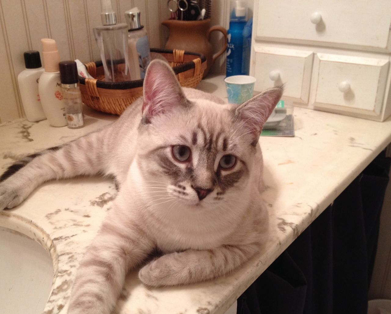This is Jack, a Lynx Point Siamese Tabby. Siamese cats
