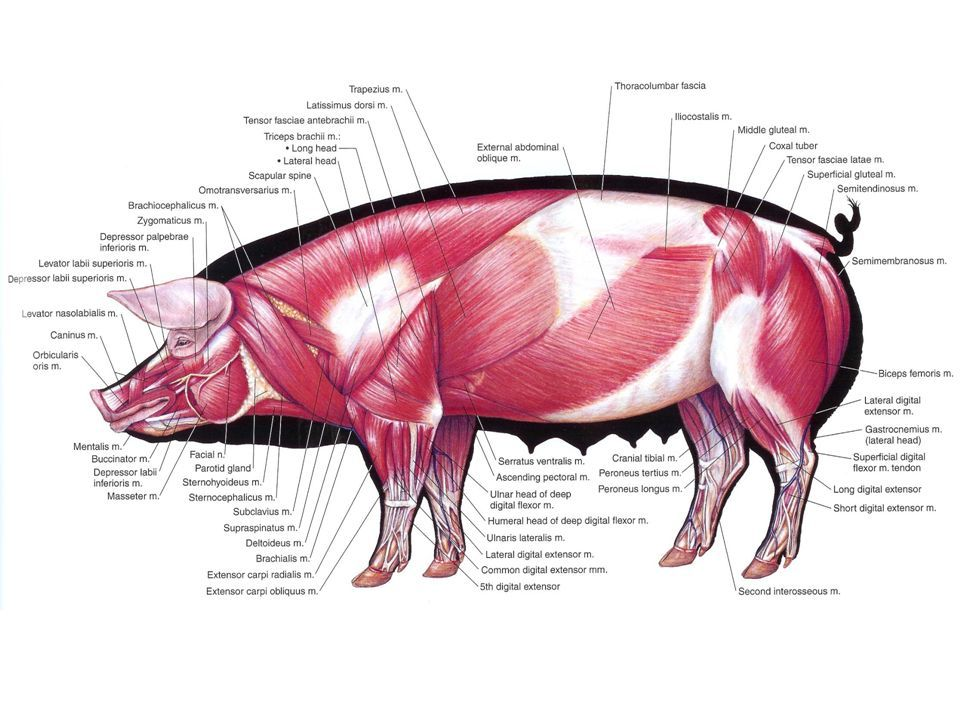 Pig Muscle Anatomy Diagram - Electrical Work Wiring Diagram •