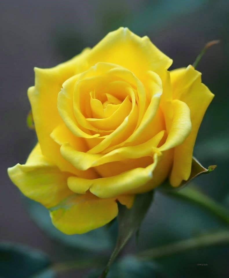 Yellow Rose Elegant FlowersAmazing