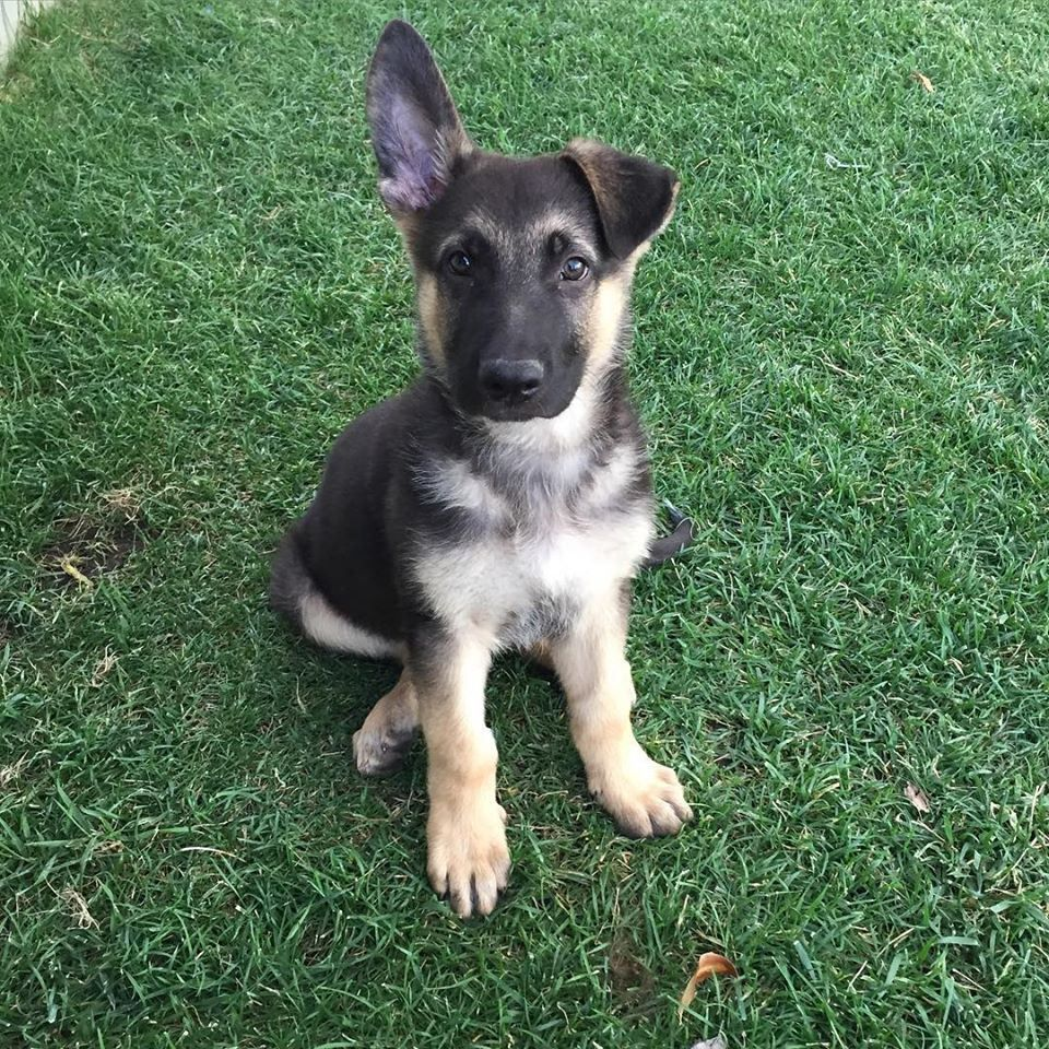 Aww Cute German Shepherd Puppy 1 Ear Perked Up And One Down
