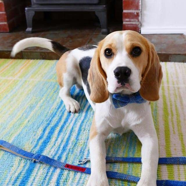 Bowzos Bow Tie Dog Collar Beagle Dog Collar Bow Tie Dog