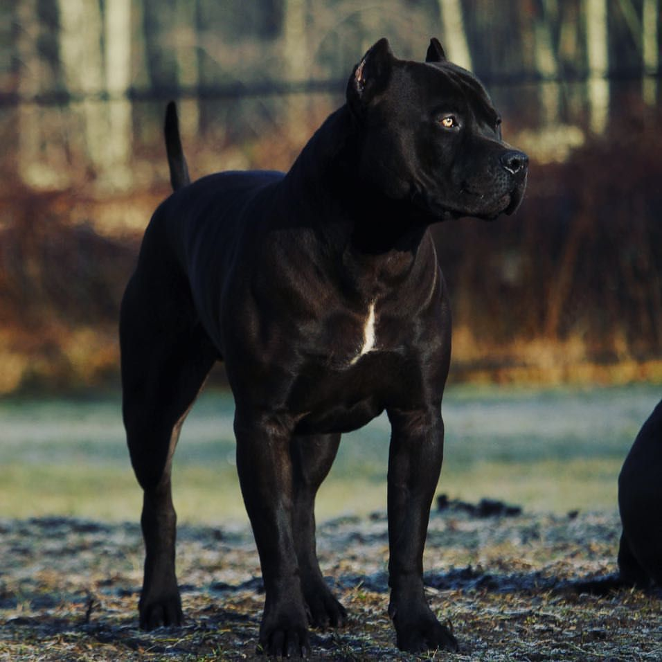 King Prague 2 Years Old 123lbs 25 Tal Beauty Beast Pitbull Pitbull Puppies Pitbull Dog Pitbulls