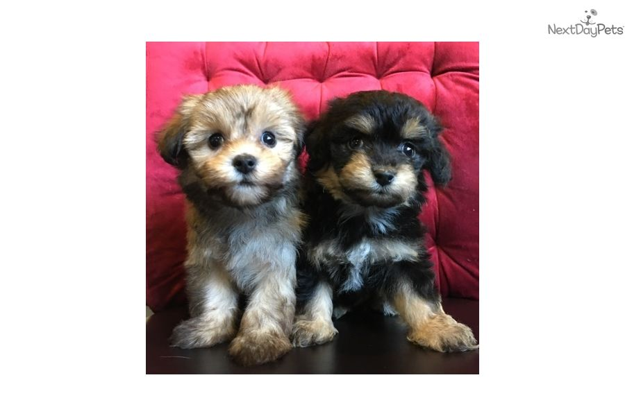I Am A Cute Poma Poo Pomapoo Puppy Looking For A Home On Nextdaypets Com Kittens Cutest Pomapoo Puppies