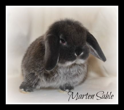 Rabbits For Sale Droopy Ears Rabbitry Rabbits For Sale Pets