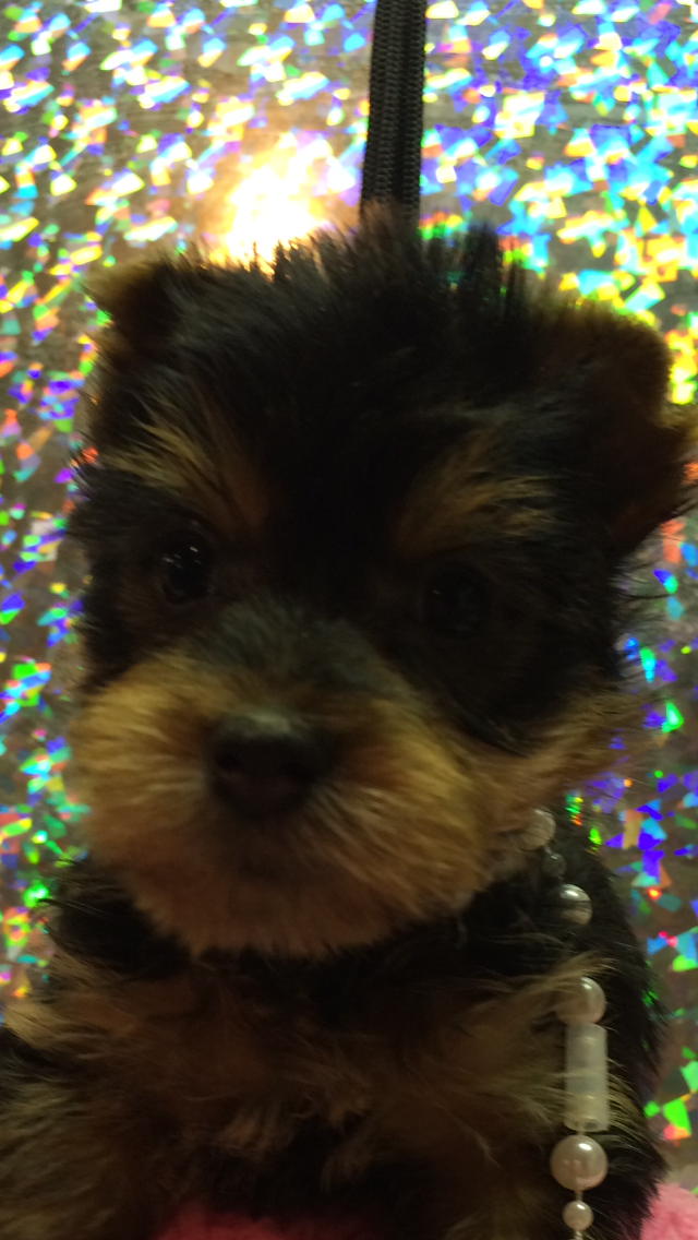 Www Fosterstinyyorkies Com Im A Licenced Breeder In Lubbock Texas I Sell Yorkies All Colors Available Yorkie Pup Animals