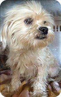 Birmingham Al Maltese Mix Meet Circus A Dog For Adoption Http Www Adoptapet Com Pet 14950443 Birmingham Alabama Malte Dog Adoption Pets Kitten Adoption