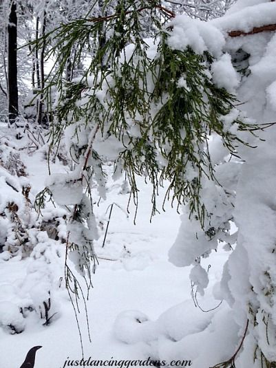 Chamaecyparis  dressed in snow