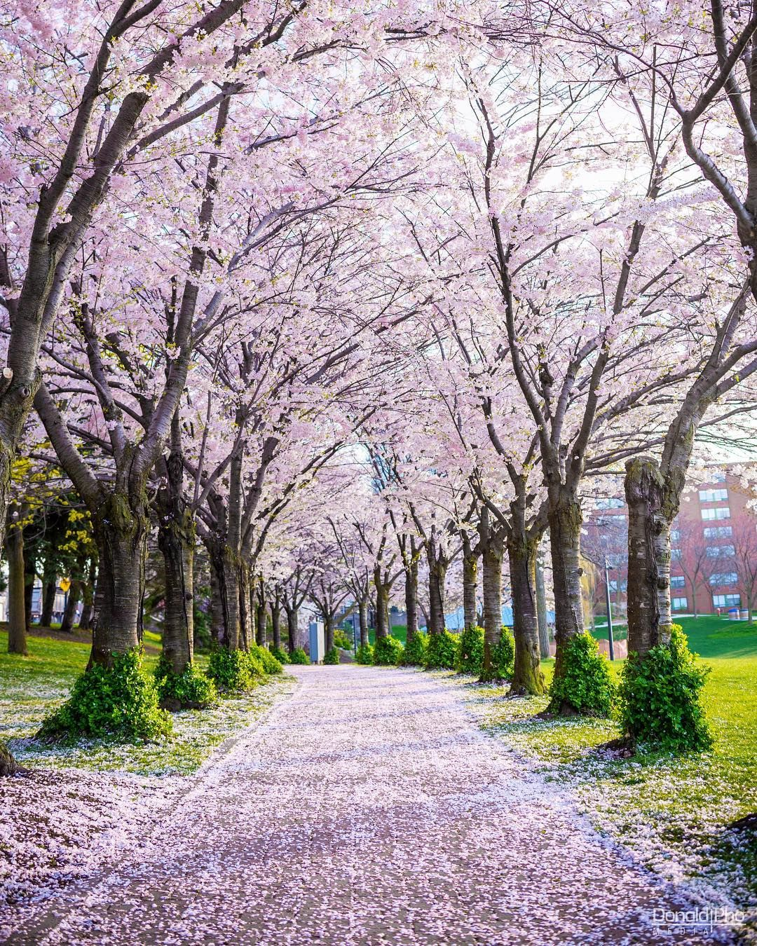 You Must Visit This Spectacular Cherry Blossom Trail In Ontario Landscape Photography Trees Landscape Photography Nature Photography