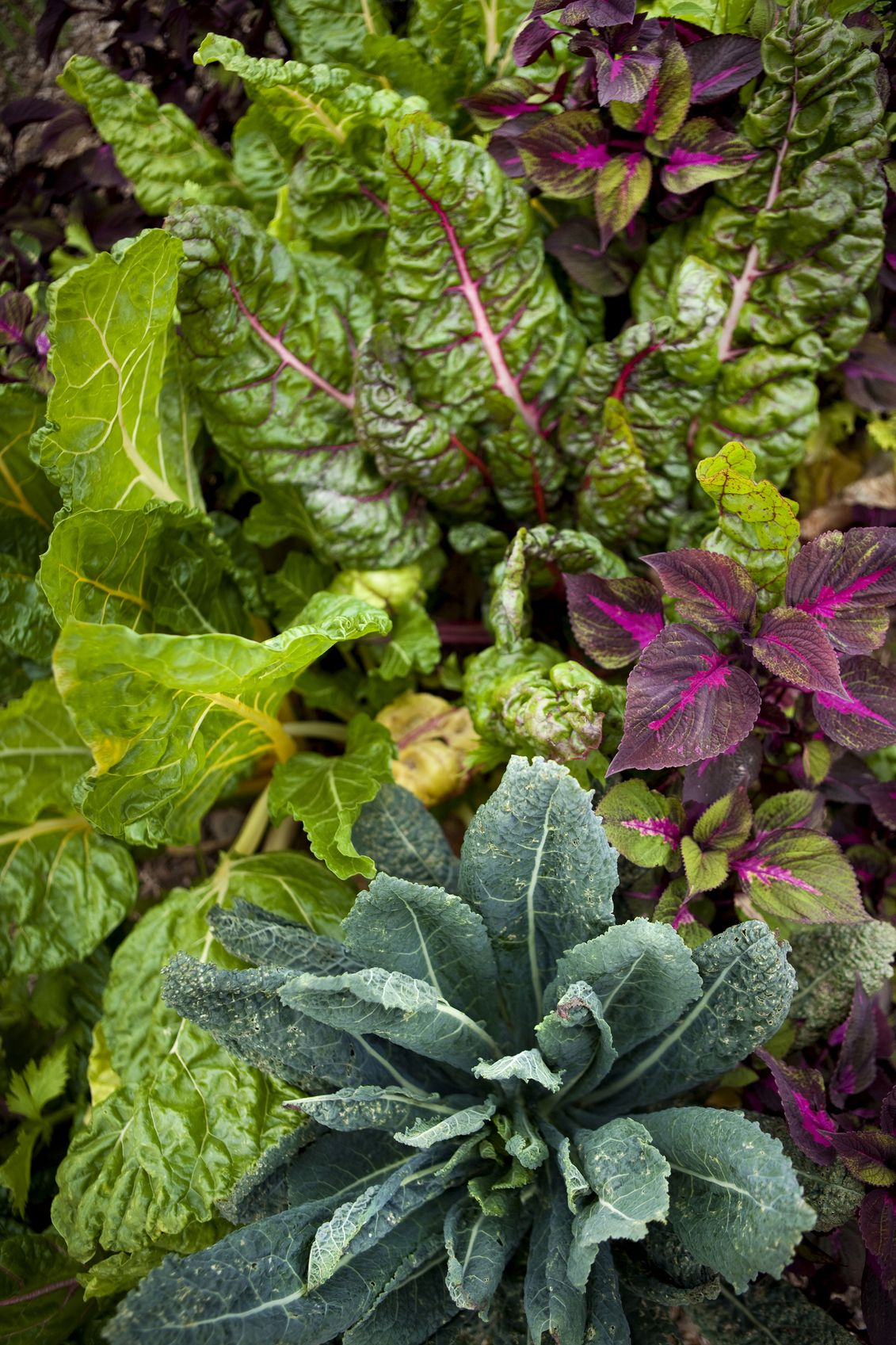 Companion Plants For Chard What Grows Well With Chard 400 x 300