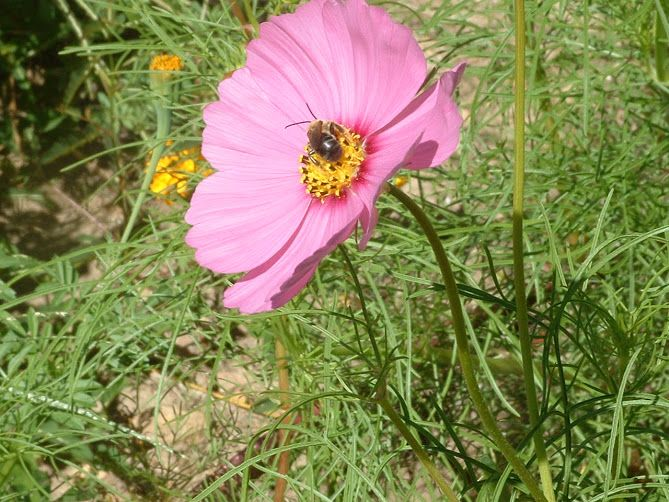 Cosmos With Bee Flower Garden Flowers Plants