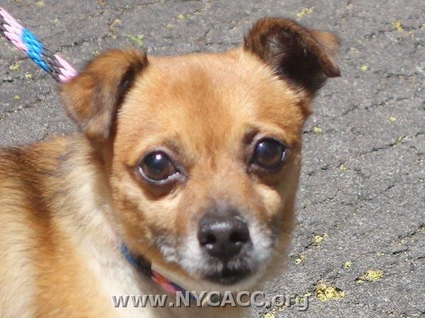 Urgent This Dog Will Be Euthanized Unless A Hold Is Placed On Him By Noon Est 6 25 14 Log In To The At Risk List To P Pet Adoption My Animal Brown Chihuahua