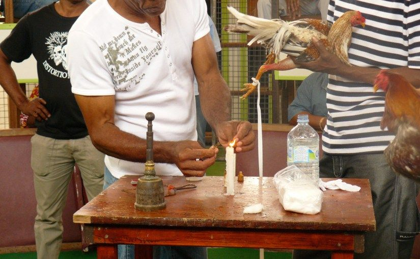 Les coqs de combat en#Martinique.