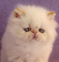 Sabrina Is An Adoptable Persian Cat In Syracuse Ny Aww Our