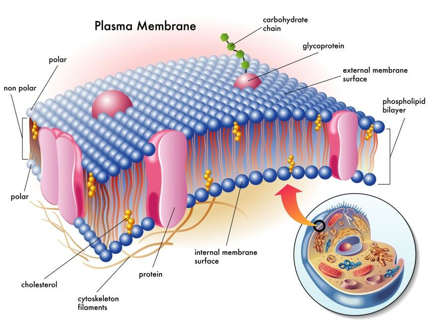 image result for cell membranes phosphatidylcholine on cell wall function id=83735