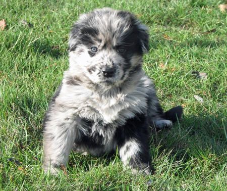 Vindaloo The Australian Shepherd Mix Australian Shepherd