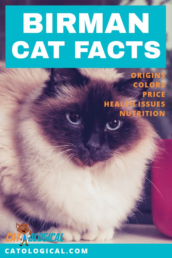 Learn some amazing facts about Birman cats and kittens