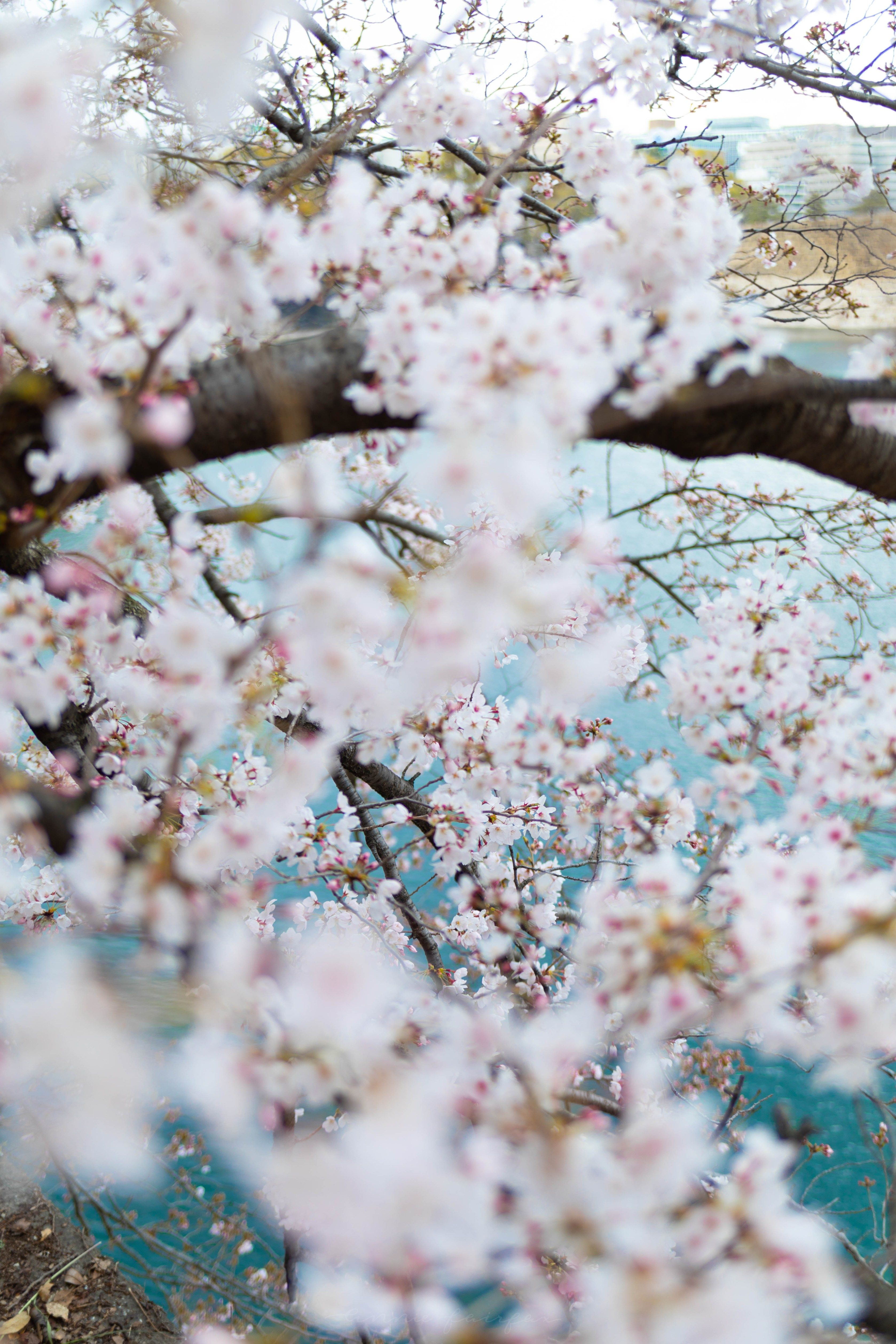 Osaka Japan The Luxury Travel Guide Annie Fairfax In 2020 Cherry Blossom Japan Cherry Blossom Japanese Travel