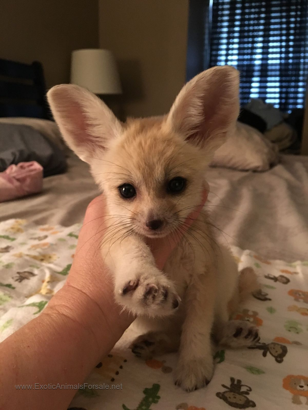 Fennec Fox For Sale Future Cute Animals Exotic Pets Cute Baby