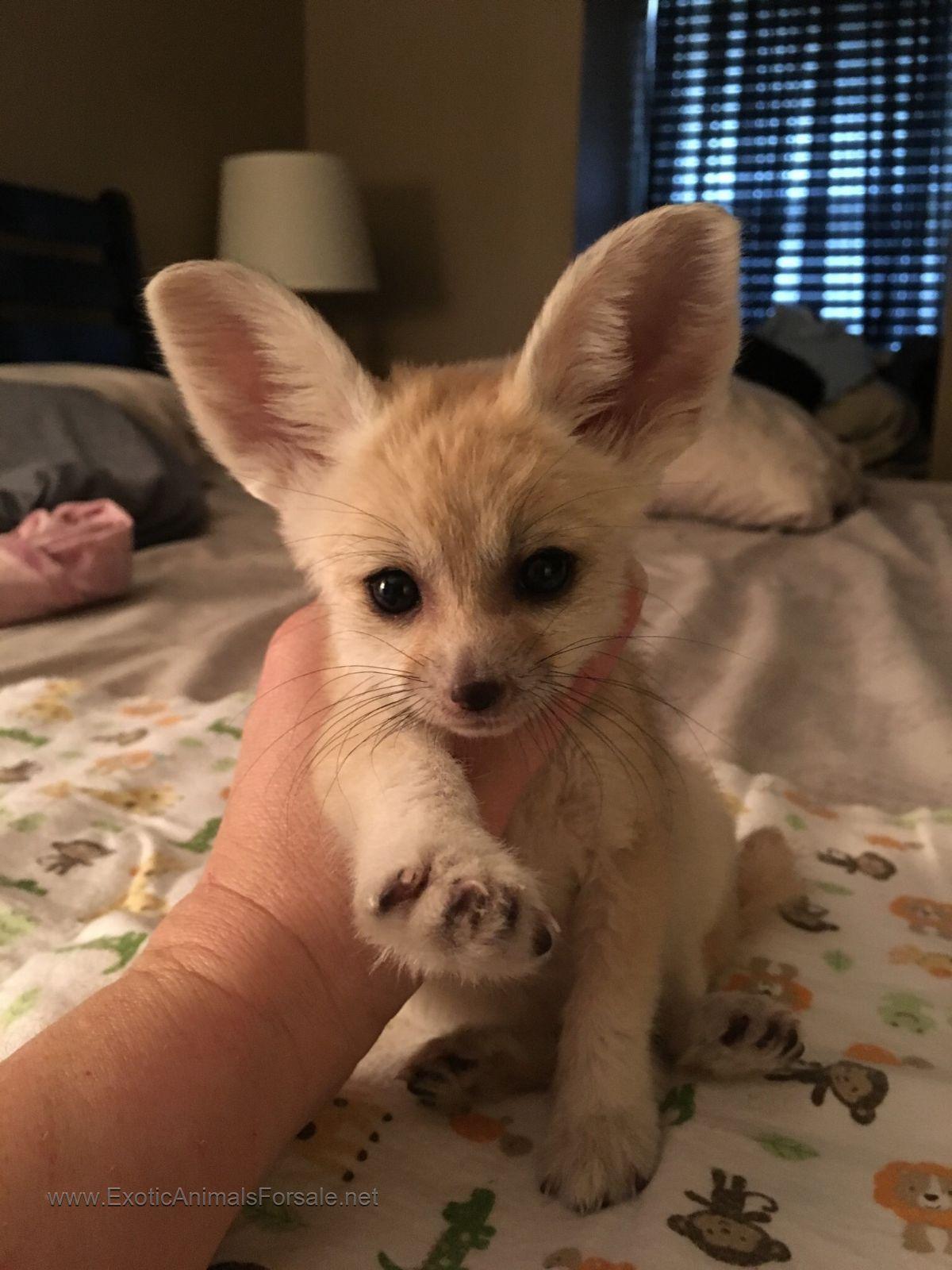 Fennec Fox For Sale Cute baby animals, Pet fox, Cute animals